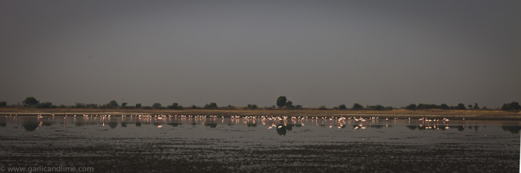 Flamingos on the salt lake at Little Rann, Gujarat, India (Febru
