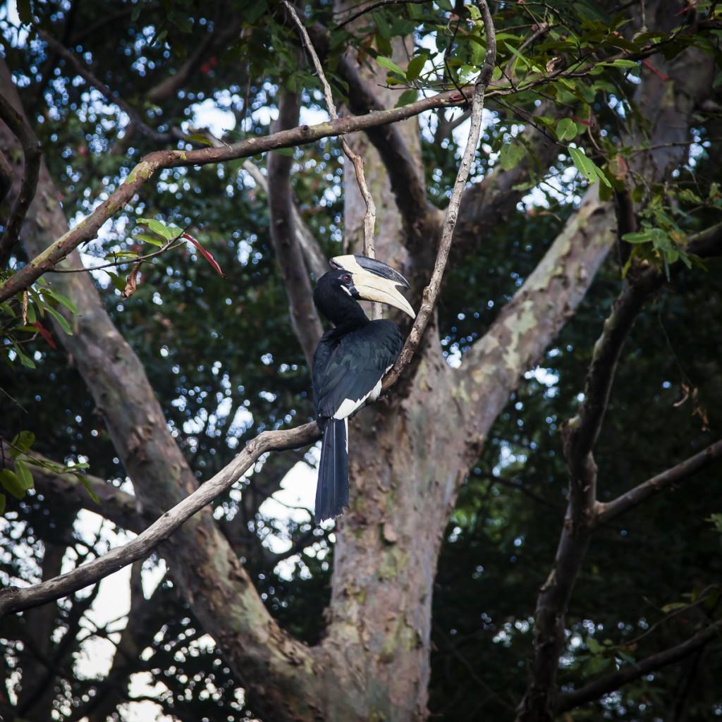 Malabar Hornbill birds, Kalundewa Retreat hotel, Dambulla